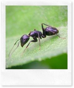 Lotta ecologica alle formiche con il borace