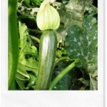 Verdura estiva: zucchette e zucchine